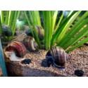 Měchýřovka východní (Ampullaria australis)