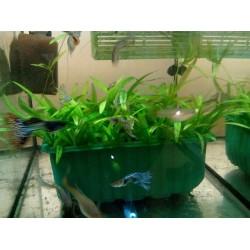 Helanthium bolivianum 'Latifolius' - pěstební miska