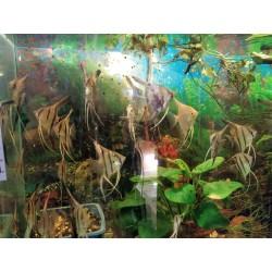 Skalára amazonská (Pterophyllum scalare) - různé zbarvení